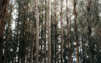 New Forests and Gondwana Genomics Announce Multi-year Collaboration to Deploy Genetic Technology in Tropical Eucalyptus Plantation Investments